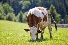 Cow. Grazing on farm on a bright summer's day Stock Image