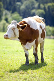 Cow. On meadow during a bright summer's day Royalty Free Stock Image