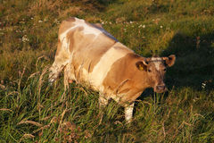 Cow. A cow in a pasture stock images