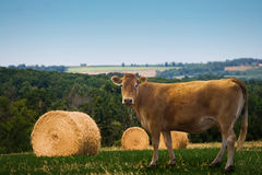 Cow. A country field with a cow and some hay bales Royalty Free Stock Images