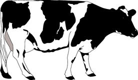 Cow. Very detailed hand vector image. Cow - black hand drawn illustration as vector vector illustration
