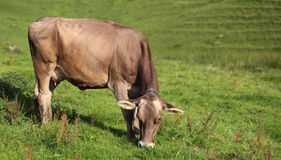 Cow. Grazing on a lovely green pasture Royalty Free Stock Image