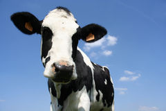 Cow. A black and white milk cow with a bright blue sky at the background royalty free stock image