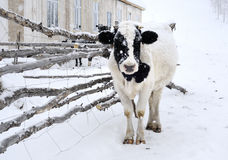 Cow. The cold winter, a black and white cows standing in the snow Royalty Free Stock Images