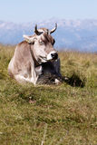 Cow. An alone sleeping cow in an alpine meadow with mountains in the background Royalty Free Stock Photo
