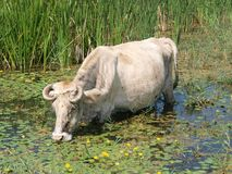 Cow. Feed into the lake stock images