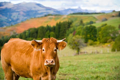 Cow stock photo