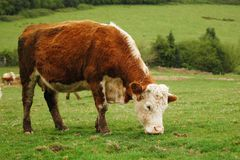 Cow. In cardiff mountain, horizontally framed shot stock photography