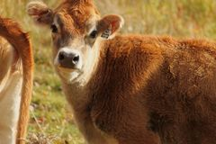 Cow. A cow on a farm Stock Photography