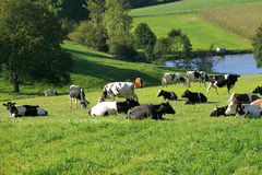 Free Cow Stock Photography - 1338392