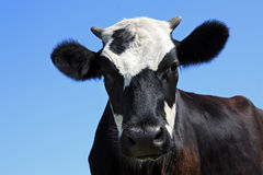 Cow. A black and white young cow on a blue sky background royalty free stock photo