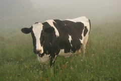 Cow. Fresian Cow stood in a foggy field Stock Images