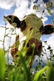 Cow. Grazing cow from frog perspective stock photo