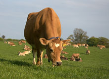Cow. Grazing in the farm field Royalty Free Stock Photos