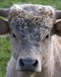 Cow. 's face Royalty Free Stock Photo