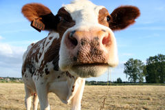 Cow. A brown and white dairy cow. Selective Dof with focus on the head Stock Photos
