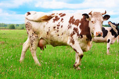The cow Stock Photo