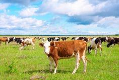 The cow Stock Photos