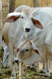Cow. In chiang mai night safari, thailand Royalty Free Stock Photos