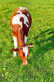 Cow. In the grass field Stock Photos