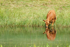 Cow. Dringing water from the pond Stock Photo