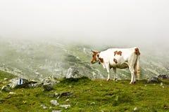 Cow. Grazing in alpine pasture in Retezat mountains,Romania Stock Photo