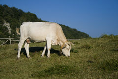 Cow. A cow on the italian mountains stock photos