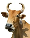 Cow 1545. Head of a brown cow isolated on white Stock Photos