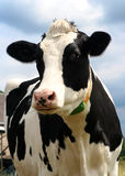 Cow. With blue sky at background looing to camera - shallow DOF royalty free stock photography