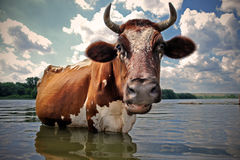 Cow. In the river. Russia stock photography