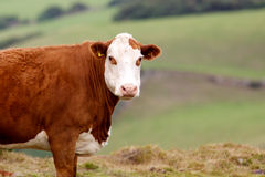 Cow. A large brown cow looking at the camera Royalty Free Stock Image