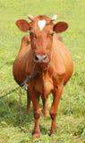 Cow. Stock Image
