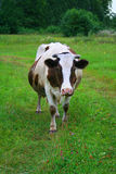 Cow. On the green meadow Stock Photography