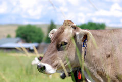 Cow. A large brown cow in the field Royalty Free Stock Photo