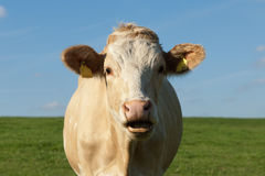 Cow Royalty Free Stock Photos