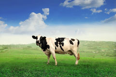 Cow. Standing on a green meadow Stock Photos