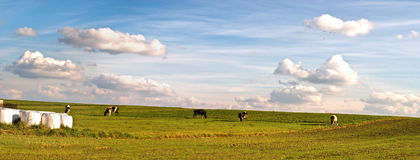 Cow. The young farm cow stands on field, (animals series Stock Photos