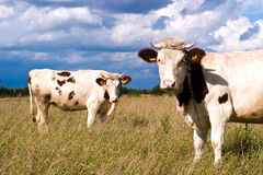 Cow. The young farm cow stands on field, (animals series Stock Photo