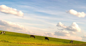 Cow. The young farm cow stands on field, (animals series Royalty Free Stock Images