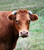 Cow. Brown cow out in the grass royalty free stock photos