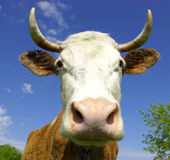 Cow. Brown Holstein cow in the field looking at you Royalty Free Stock Image