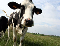 Cow. A black and white dairy cow in a pasture Royalty Free Stock Photos