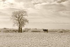 Cow. Two trees and a cow Royalty Free Stock Photo