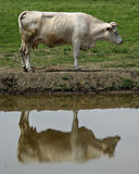 Cow. Standing near water, green grass in background, reflection in foreground Stock Photos