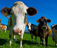 Cow. With a large udder Royalty Free Stock Photo