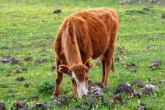 Cow. The brown cow on the field eating a grass royalty free stock image