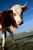 Cow. In the french campaing Royalty Free Stock Images