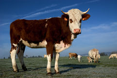Cow. In the french campaing Stock Photography