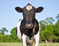 Cow. Black and white cow in the pasture Stock Images