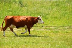 Cow. With a bell on her neck, stepping on green meadow in Romania stock image
